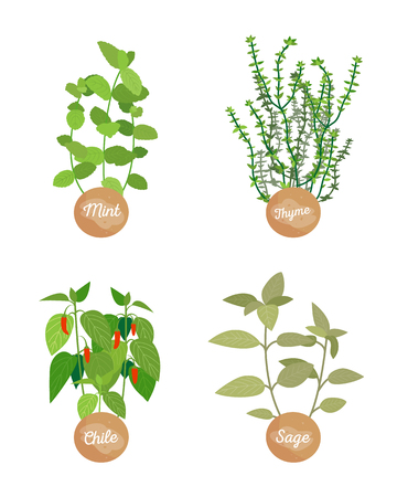 Mint and thyme, chile and sage dish ingredients vector illustration with greenery leaves and stems red pepper spicy ingredients, white background Stock Illustratie