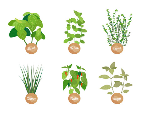 Spice set closeup plants vector illustration isolated on white basil and mint, thyme and chives, chile and sage aroma spices nature food ingredients Illustration