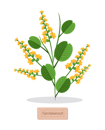 Sandalwood Poster with Herb Vector Illustration Stock Photo