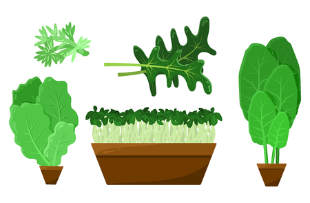 Green salad leaves and roots vector collection, illustration with fresh arugula and potted green healthy food set, vegetables in brown pots