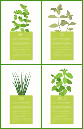Sage and mint, chives and oregano condiments set vector illustratiom varied spiciness sample isolate on white, fresh greenery green rectangles set