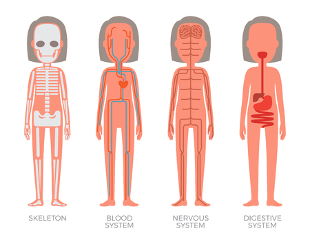 Skeleton Blood Nervous and Digestive Systems Build Stock Photo