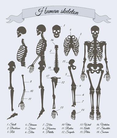 Human Skeleton and Parts, Vector Illustration
