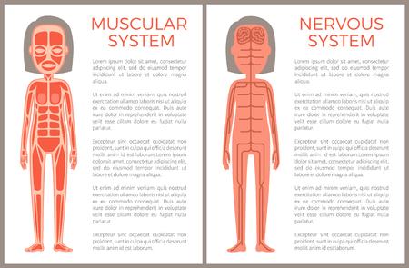 Anotomisches Banner des Muskel- und Nervensystems