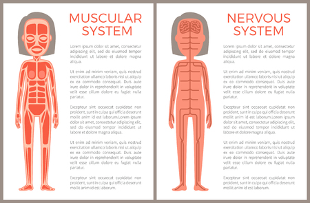 Banner anotómico del sistema nervioso y muscular
