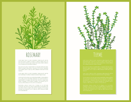 Rosemary and thyme herbs template, vector cards, illustration with species plants, greenery herb, spice herb, text sample, food ingredients condiments