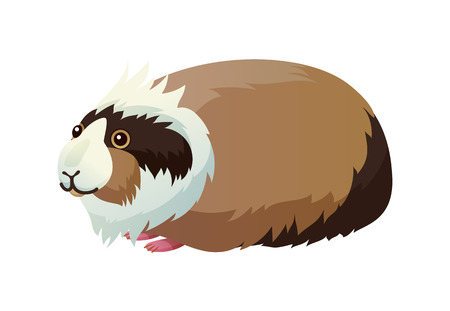 Guinea pig domestic pet cavy, pocket pet small creature with tricolor fur, animal with small paws vector illustration isolated on white background