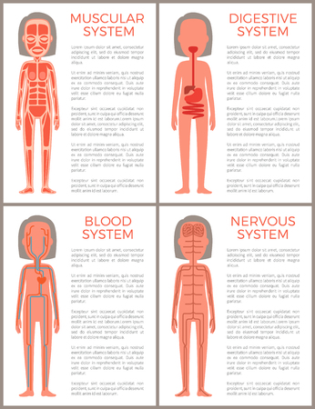 Blood muscular digestive and nervous systems set vector illustration with anotomical structutere of woman s organism, various female organs collection Illustration