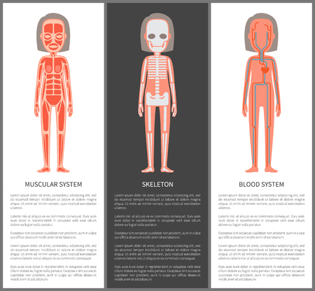 Muscular and blood systems skeleton silhouette vector illustration of female internal build, arteries veins heart icon bones struct, muscles scheme Illustration