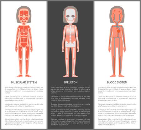 Systèmes musculaires et sanguins squelette silhouette illustration vectorielle de construction interne féminine, artères veines coeur icône os struct, schéma de muscles