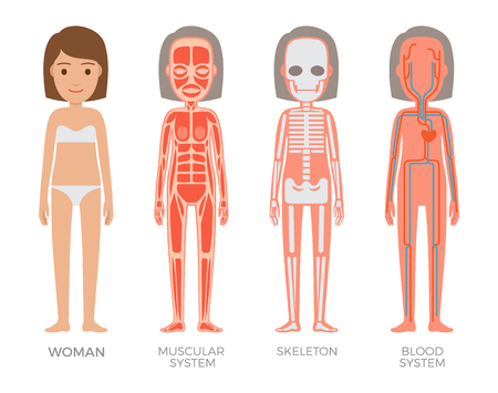 Woman muscular skeleton blood systems struct set, vector illustrations of organism with heart veins plasma arteries, bones and musculature structure Illustration