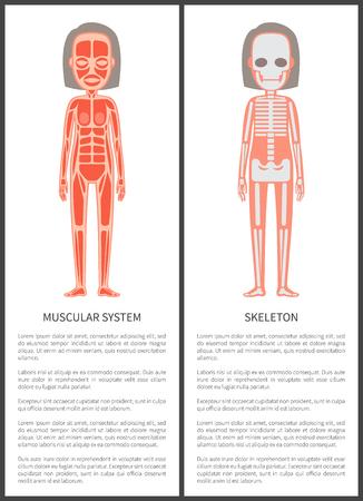 Muskelsystem und weibliches Skelett bunte Karte Vektorgrafik