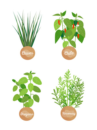 Oregano rosemary set of herbs chives chile peppers collection flavoring seasoning labels and titles vector illustration isolated on white background