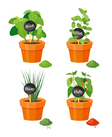 Natural spice grows in plastic flowerpots. Fragrant basil, fresh mint, ripe chives and hot chili pots. Aromas grown at home vector illustrations