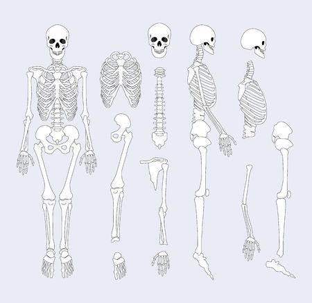 Human Skeletal System Parts Vector Illustration Stock Illustration - 106315710