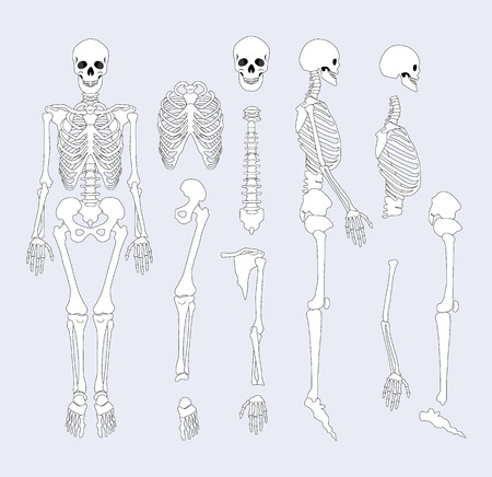 Human Skeletal System Parts Vector Illustration Stock Photo