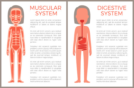 Muscular and Digestive Systems of Woman s Body