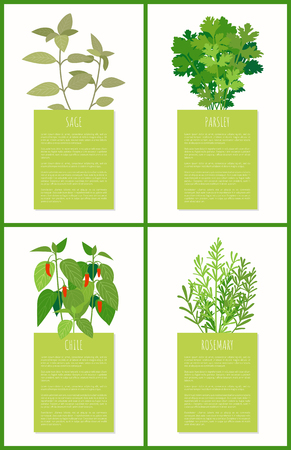 Sage parsley chile rosemary spices collection vector illustration green leaves of spice s flowers, spicy plant set and text sample, healthy food Illusztráció