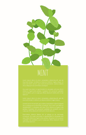 Mint spices isolated on white vector illustration, greenery plant using for cooking tasty food, spicy fresh leaves mint s stems and green text frame Stock fotó - 105540756