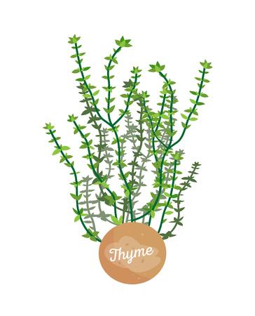 Logotyp zioła tymianku z okrągłą etykietą, godło rośliny doniczkowej tymianku, liście ziół, tytuł na pojemniku, ilustracja wektorowa aromatycznej przyprawy ziołowej
