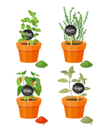 Fragrant plants used culinary grown in pot. Fresh mint, picant thyme, hot chili and exotic sage plastic pots isolated vector illustrations.