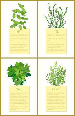 Mint thyme parsley and rosemary flower set banner vector illustration of spicy green flowers for cooking tasty dishes, various spices collection