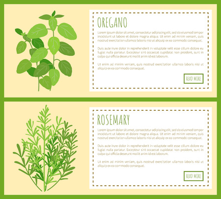 Oregano and rosemary bunches banners. Edible fragrant herbs on posters with sample text. Fresh piquant greenery condiments vector illustrations.