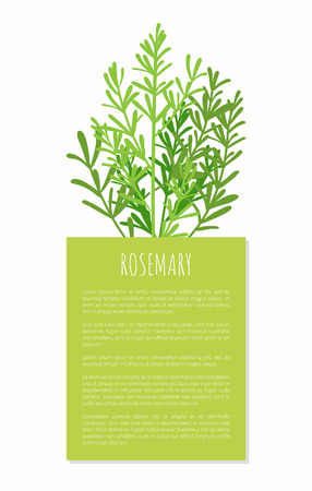Rosemary aroma plant isolated on white background, tasty spices cooking herbal condiment for various food, ingredient vector illustration text sample Ilustração