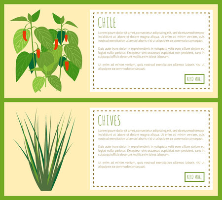 Chile and chives herbal plants spicy flavor food, vector illustration with rectangles isolated text and buttons, red pepper and twig plant spices set Banco de Imagens - 105604268