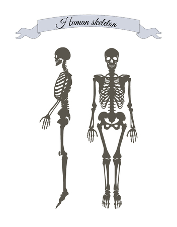 Human skeleton system banner with headline in ribbon, organism structure made of bones, collection vector illustration isolated on white background Illustration