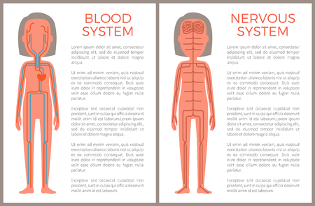Blood and nervous systems sample of body build vector illustration, brains with sensitive nerve endings set, blue plasma stream in organism s veins