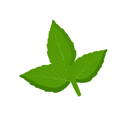 Mint leaves as fresh detox natural ingredient. Tasty herb for refreshment and health improvement that heal organism isolated vector illustration.