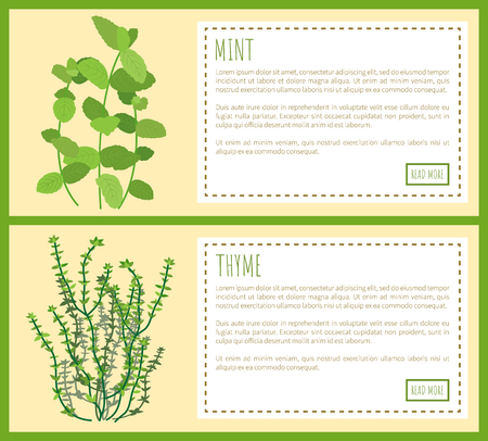 Mint and thyme condiments, vector illustration text sample in rectangles, spices set and sprigs plant aroma spiciness for tasty dishes natural spicy
