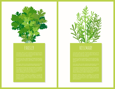 Parsley and rosemary greenery set vector poster, illustration of tasty spices fresh leaves of spicy flowers, herb plants for cooking various dishes Illusztráció
