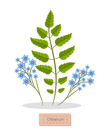 Olibanum leaves and flowers of blue color and herb, herbal banner and headline, resin frankincense vector illustration isolated on white background