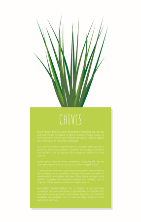 Chives aroma spices plant vector illustration isolated on white background green rectangle with text sample, spice flavor herb and greenery butch