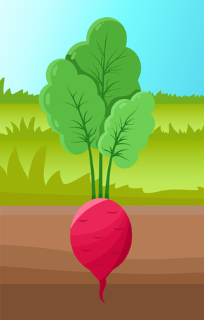 Beetroot growing in ground, beet and leaves, grass around planted vegetable, agriculture or farming, healthy vegetarian food vector illustration. Illustration