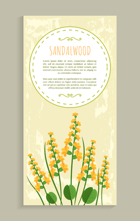 Sandalwood poster with herb, banner and headline, aromatic plant that has flower among leaves, cartoon flat vector illustration, oval frame for text.