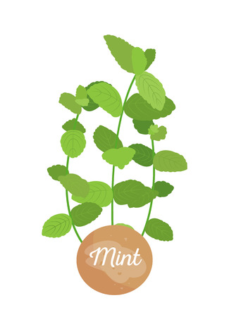 Mint herb logotype with round label, potted mints plant emblem, herbs broad leaves, title on container, aromatic herbal seasoning vector illustration Illusztráció