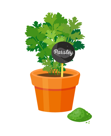 Parsley plant in pot, green color bushy leaves, potted condiment, text board, healthy cooking ingredient, organic vegetarian food and dry powder vector