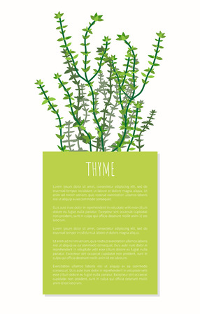 Thyme Herbal Plant Colorful Vector Illustration