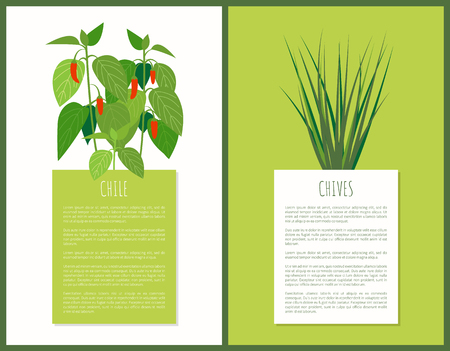 Chile chives herbal plants vector illustration of flavor aroma spicy flowers for cooking, green and white backdrops, text sample behind herb condiments
