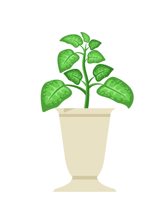 Dieffenbachia in vase, potted plant with large leaves, elite type of room green houseplant, botanical flower pot vector isolated on white