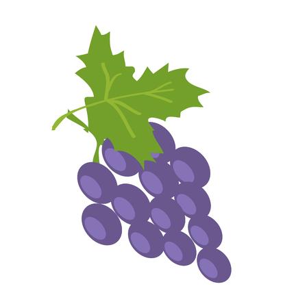 Brunch of Lilac Grape, Color Vector Illustration Illustration