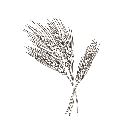 Wheat Beer Basic Ingridient Vector Illustration