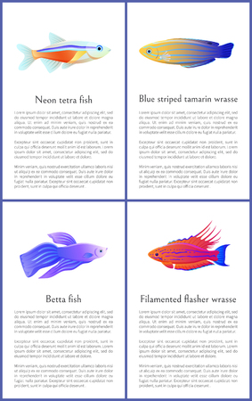Betta and neon tetra fishes set isolated on white backdrop, blue striped tamarin with filamented flasher wrasse relative, color vector illustrations Illustration