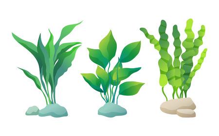 Meer- oder dekorative Aquarienalgenvektorillusatrationssatz lokalisiert auf Weiß. Algen- oder Wasserpflanze mit gewellten, breiten oder geraden Blättern, die auf Stein fixiert sind. Vektorgrafik