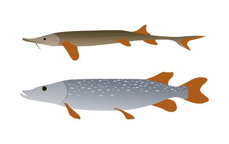 Ensemble d'illustrations de poissons prédateurs de brochet et de sterlet