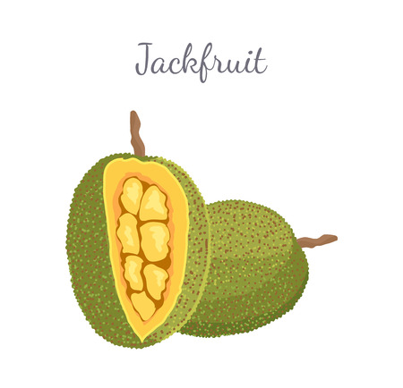 Jackfruit exotic juicy stone fruit vector whole and cut isolated. Jack tree, fenne, jakfruit or jak. Fig, mulberry, and breadfruit. Tropical edible food Standard-Bild - 127420466