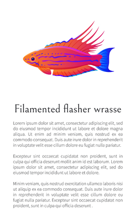 Filamented flasher wrasse fish on white background, vector illustration of exceptional marine occupant with curved appendages on fins, text sample